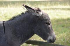 Stående av en grå åsna på en äng arkivfoton