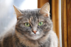 Stående av en grå katt Fotografering för Bildbyråer