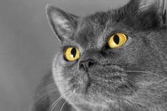 Stående av en grå katt med gula ögon Arkivfoton