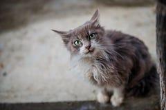 Stående av en grå katt med stora gröna ögon royaltyfria bilder