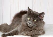 Stående av en grå kattunge som lägger på en filt som ser till lämnade tittare Arkivfoton