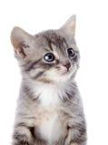 Stående av en grå randig kattunge med blåa ögon. Royaltyfri Bild