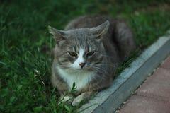 Stående av en grå vit katt som ligger på det gröna gräset royaltyfri bild
