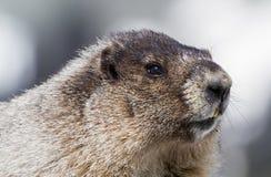 Stående av en grånad murmeldjur Arkivfoto