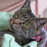Stående av en grönögd katt Arkivbild