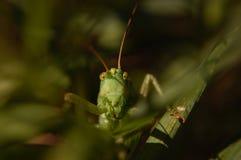 Stående av en grön gräshoppa royaltyfria bilder