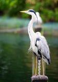 Stående av en Grey Heron Fotografering för Bildbyråer