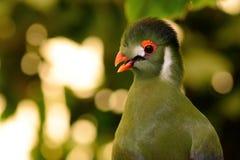 Stående av en Guinea turaco Royaltyfri Foto