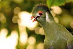 Stående av en Guinea turaco Royaltyfria Bilder