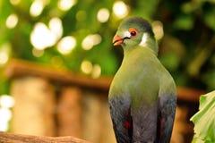 Stående av en Guinea turaco Arkivbilder