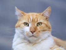 Stående av en gul katt Royaltyfri Bild