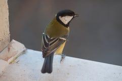 Stående av en gul talgoxe på fönsterfönsterbrädan som får klar att flyga Arkivfoton