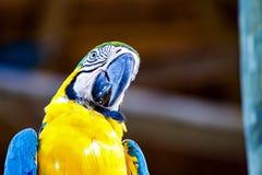 Stående av en guling och en blå ara royaltyfri fotografi