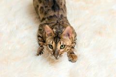 Stående av en gullig bengal katt hemma royaltyfri foto