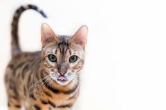 Stående av en gullig bengal katt på en vit bakgrund arkivfoto