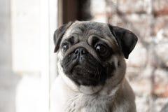 Stående av en gullig hundavelmops som sitter på fönstret och ledset arkivbilder