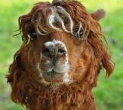 Stående av en gullig lama royaltyfri bild