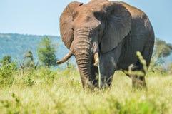 Stående av en gullig manlig tjurelefant i den Kruger nationalparken arkivbilder