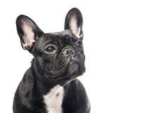 Stående av en gullig seende fransk bulldogg Arkivfoto