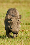 Stående av en gullig vårtsvin Arkivfoto