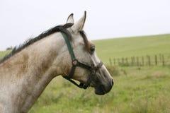 Stående av en härlig arabisk vit häst Arkivbild