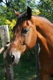 Stående av en härlig brun fullblods- häst på lantgården Royaltyfri Fotografi