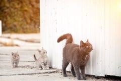 Stående av en härlig grå katt royaltyfri foto