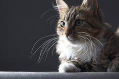 stående av en härlig katt på en grå bakgrund royaltyfria bilder