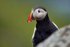 Stående av en härlig lunnefågel Royaltyfria Foton