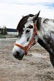 Stående av en härlig oldenburg häst i sele på ett stall arkivbild