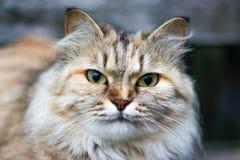 Stående av en härlig Siberian katt Tysta ned av en katt eye green arkivfoto