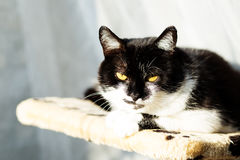 Stående av en härlig svartvit katt Royaltyfri Foto