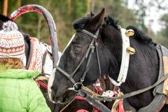 Stående av en häst i ett lag av tre hästar arkivfoton