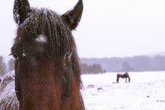 Stående av en häst som ser rak till en kamera arkivbild