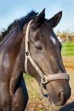 Stående av en hästcloseup Arkivfoton