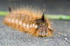 Stående av en hårig larv Royaltyfri Foto