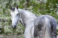 Stående av en hingst för avel för grå färgorlov travare royaltyfria bilder