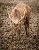 Stående av en hjort i en zoo i vinter Arkivbild