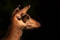 Stående av en hjort på mörk bakgrund Royaltyfri Fotografi