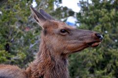 Stående av en hjort som skrämmas på Grand Canyon Fotografering för Bildbyråer