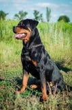 Stående av en hund av aveln en rottweiler på att gå Royaltyfri Bild