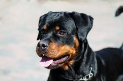 Stående av en hund av aveln en rottweiler på att gå Royaltyfria Bilder