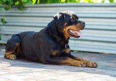 Stående av en hund av aveln en rottweiler på att gå Royaltyfri Fotografi