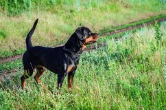Stående av en hund av aveln en rottweiler på att gå Arkivbild