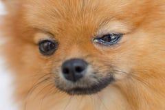 Stående av en hund med ögonproblemet, bindhinneinflammation arkivbilder