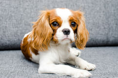 Stående av en hund på sängen Arkivfoton