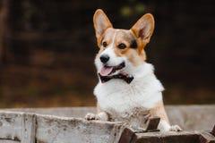 Stående av en hundCorgi Royaltyfri Bild