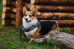 Stående av en hundCorgi Fotografering för Bildbyråer