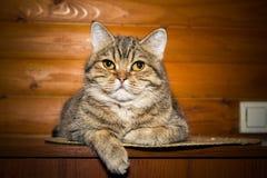 Stående av en inhemsk katt arkivbild