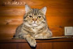 Stående av en inhemsk katt royaltyfri bild